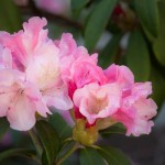 muldoon flower