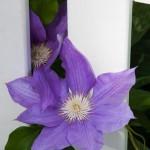 muldooon flower 3